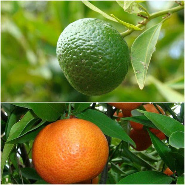 плодове на мандарина