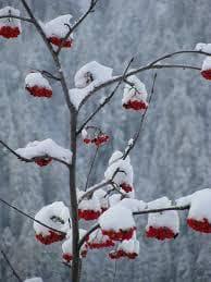 червен касис през зимата