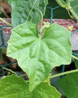 листо на мелотрия