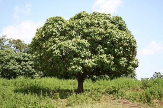 дърво манго