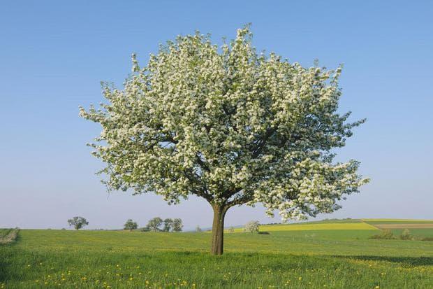 дърво круша