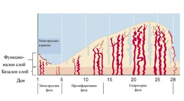 циклични промени в ендометриума