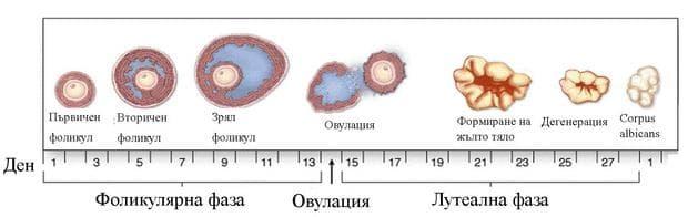 циклични промени в яйчниците
