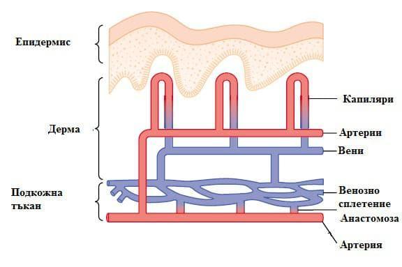 кожни кръвоносни съдове