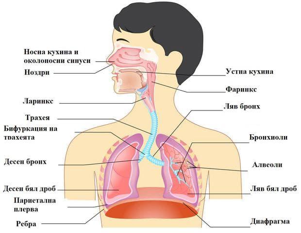 устройство на дихателна система