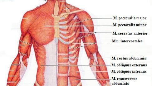 мускули на гръден кош