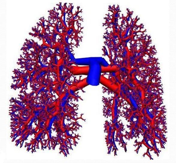кръвоснабдяване на белите дробове