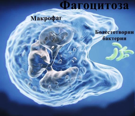 Фагоцитоза