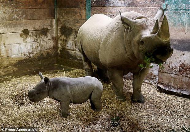 Носорози: майка и бебе