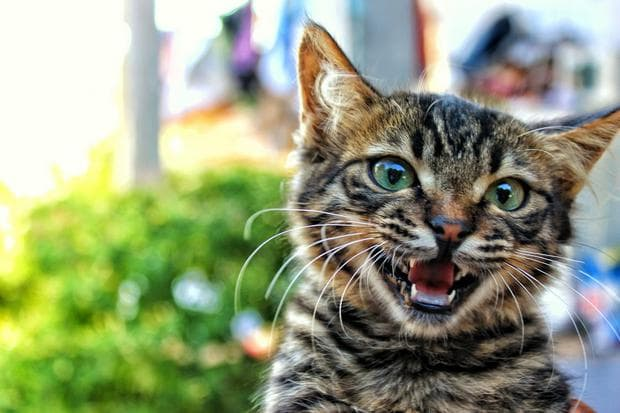 Мяукаща котка