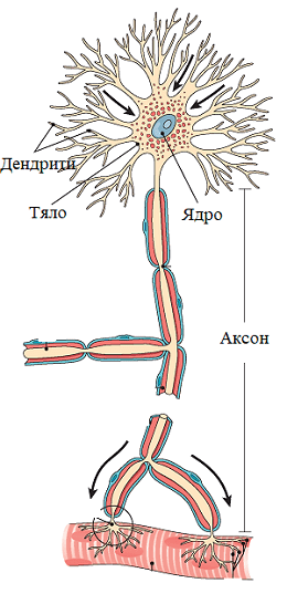 структура на неврона