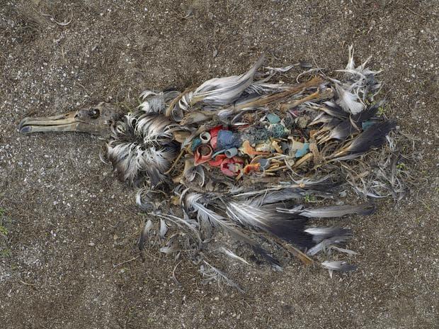 Корморан, погълнал пластмасови отпадъци