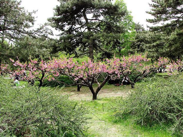 декорация с прасковено дърво