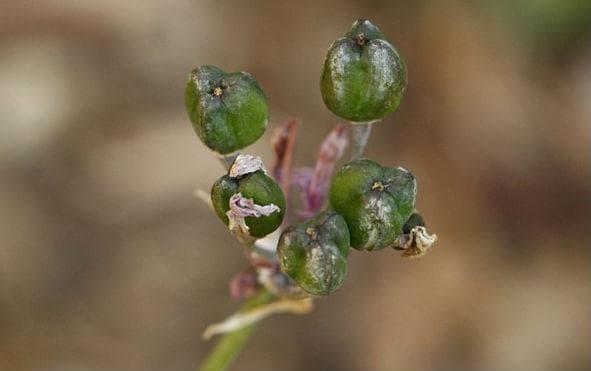 плодове на тулбагия