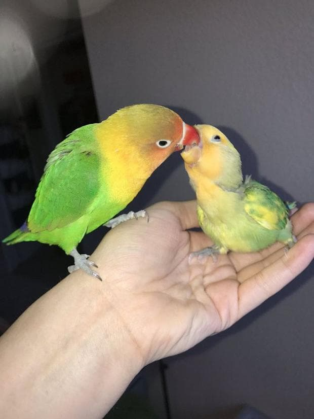 Папагали неразделки