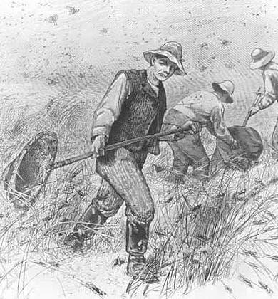 Фермери от Минесота се борят с Чумата от скакалци