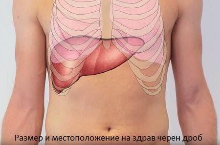 Размер и местоположение на нормален черен дроб