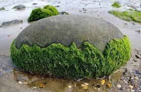 водорасли