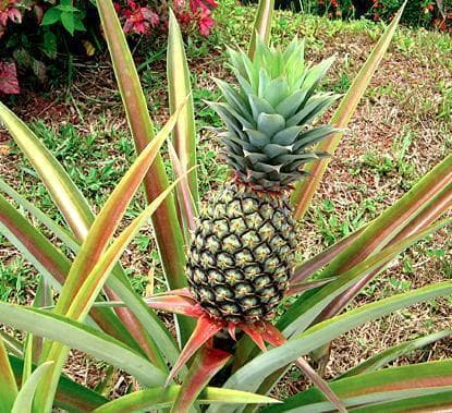 зелен ананас