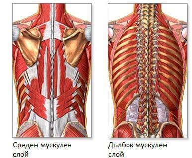 Мускули на гърба