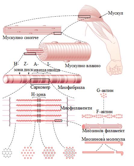 строеж на мускула