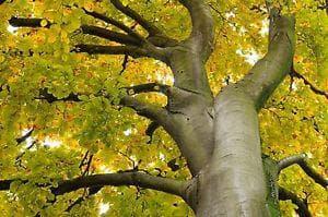 бук през есента
