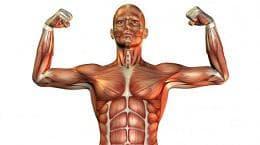 muskuli