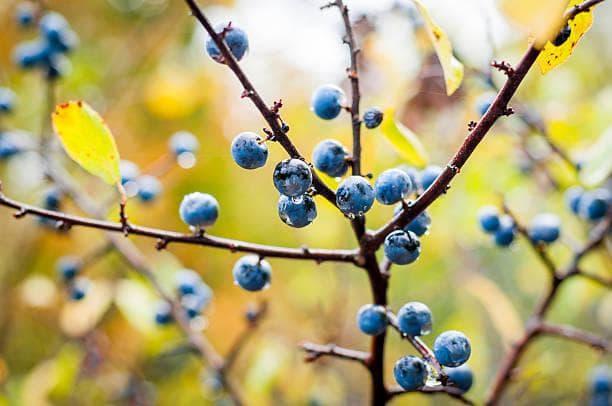 трънка - плодове през есента