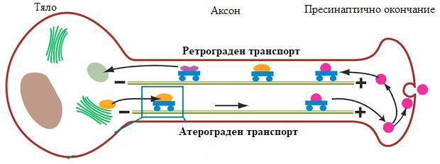аксонален транспорт