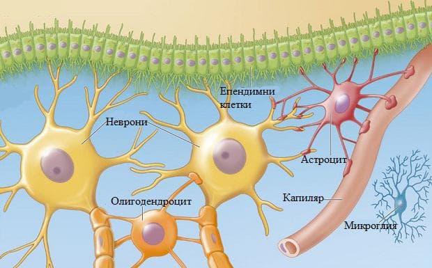 глиални клетки