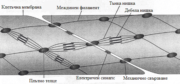 гладкомускулна клетка
