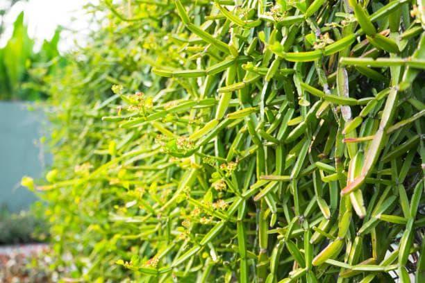 растение цисус