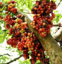 зрели плодове гулар