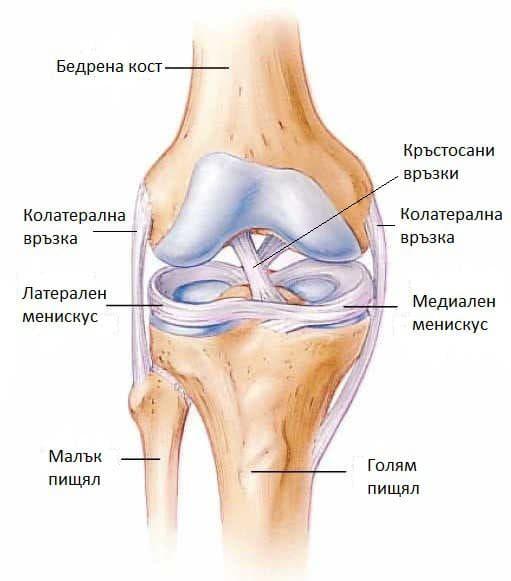 Анатомия на колянна става