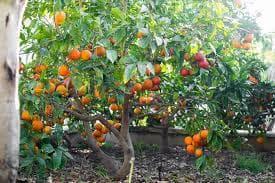 портокалово дърво