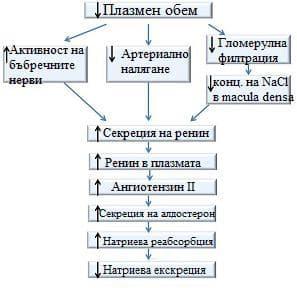 роля на ренин-ангиотензин алдостероновата система
