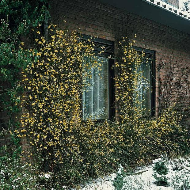каскаден растеж на зимен жасмин