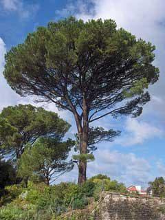 по-възрастно дърво пиния