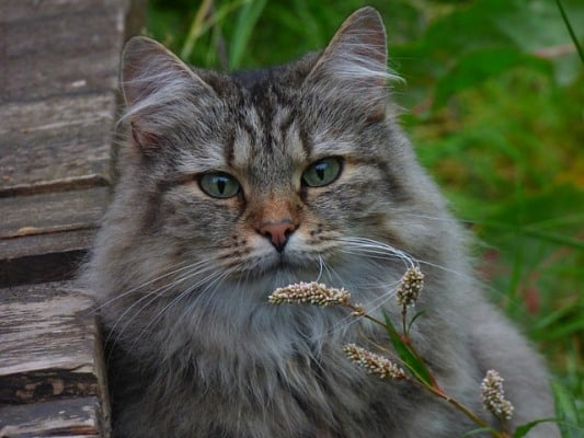 norvejka gorska kotka