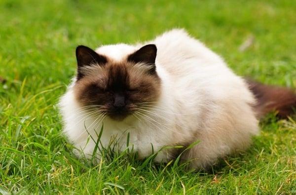 himalayska kotka