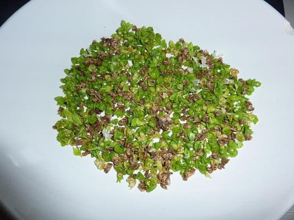Семена от босилек