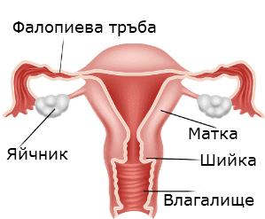 женска репродуктивна система