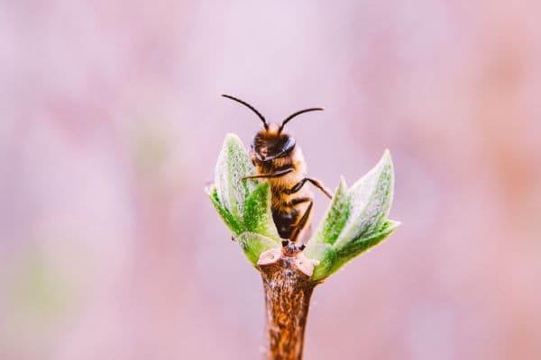 Пчели - едни от най-важните насекоми