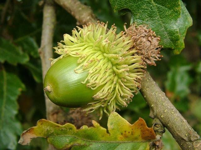 плод на цер