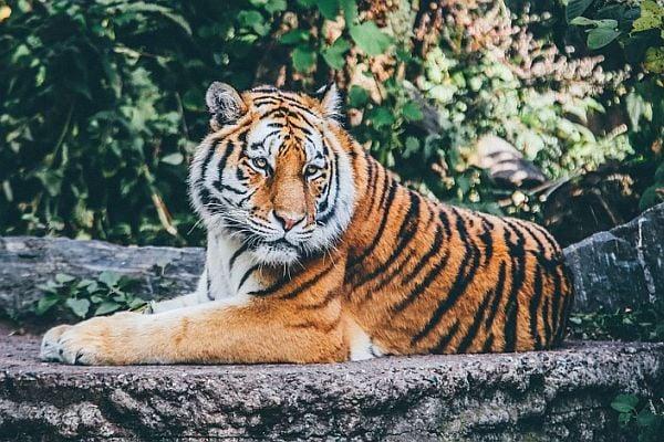 Тигър в Азия