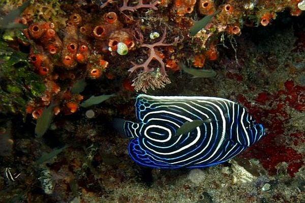Риба ангел - едно от най-красивите морски създания на света