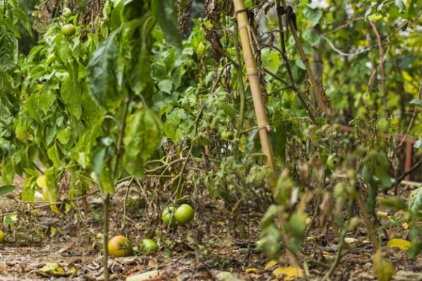 Доматите се отглеждат в богата, пропусклива и леко киселинна почва.