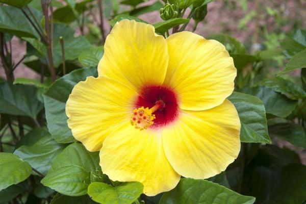 Хибискусът (китайската роза) пречиства атмосферата и приповдига настроението.