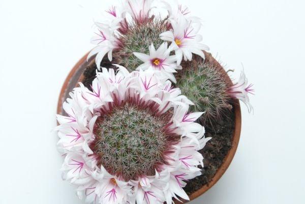 Кактусът е красиво и декоративно растение, подходящо за отглеждане в спалня.