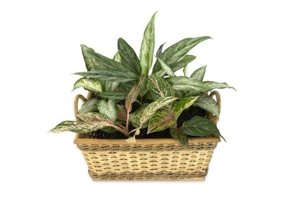 Англоанемата (китайско вечнозелено) е красиво ратение, което може да се отглежда в стая.